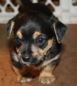Chihuahuayorkie Puppies Spay And Save Inc