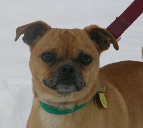 Pin Puggle Chihuahua Mix Dog Breeds Picture on Pinterest